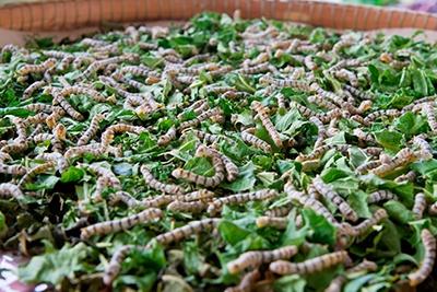 Silkeslarve